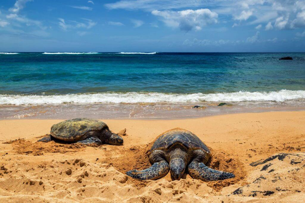 Laniakea Beach is a great place to see turtles on Oahu. Image of two Hawaiian Green Sea Turtles sunbathing on the beach with the ocean in the background.