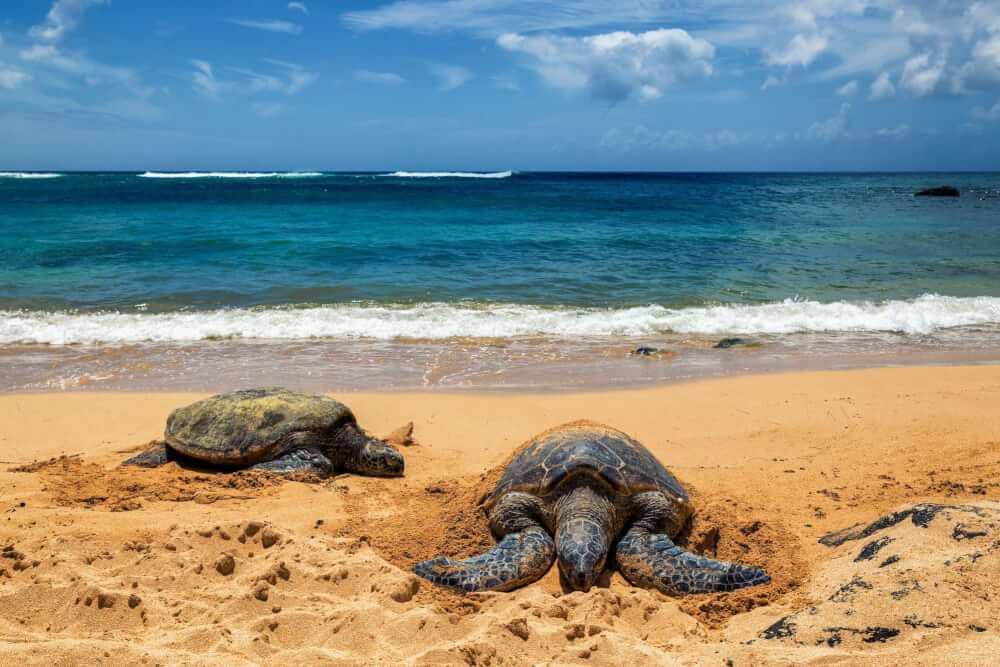 Best things to do in haleiwa oahu, featured by top Hawaii blog, Hawaii Travel with Kids: Laniakea Beach is a great place to see turtles on Oahu