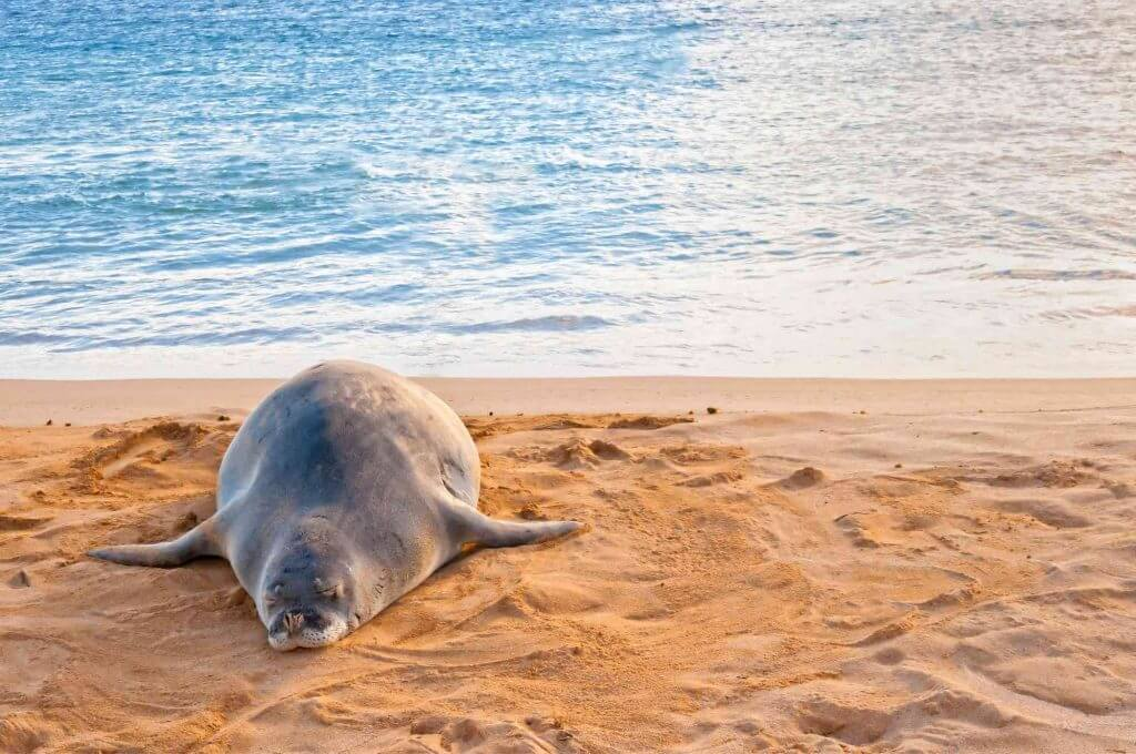 Don't get too close to monk seals in Hawaii. Image of a monk seal tanning itself on Poipu Beach on Kauai.