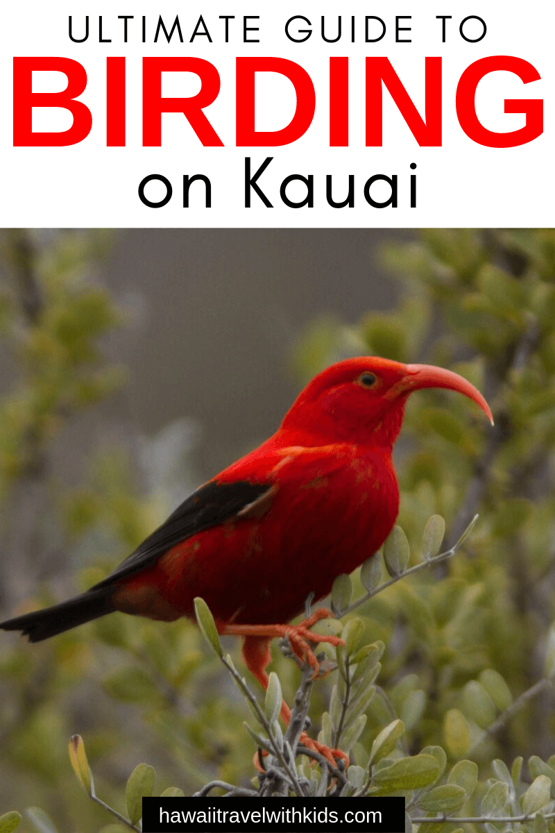 The Ultimate Guide to Birding on Kauai featured by top Hawaii travel blog, Hawaii Travel with Kids: Heading to Kauai and want to see some Hawaii wildlife? Find out the best places to go birding on Kauai
