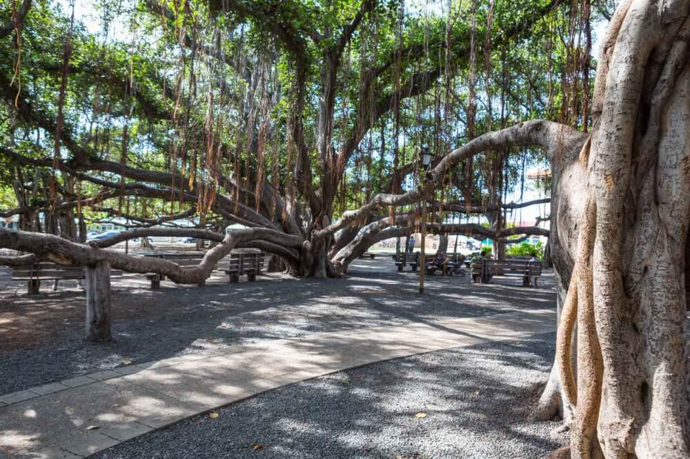 Things to do in Lahaina Maui featured by top Hawaii blog, Hawaii Travel with Kids: Seeing the historic banyan trees is one of the most popular things to do in Lahaina