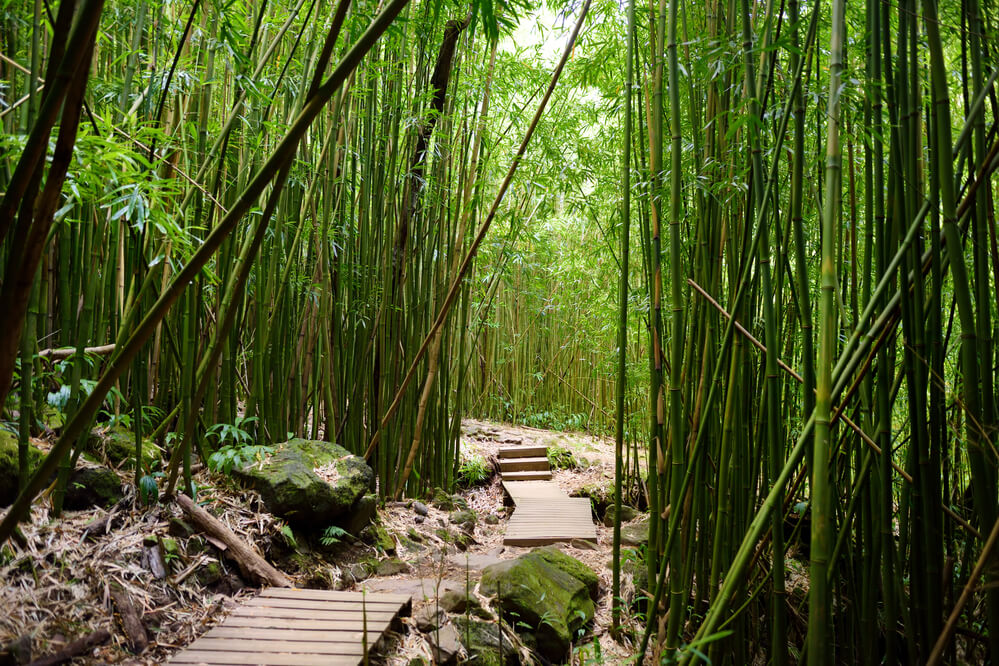 The Best Maui Hiking Trails featured by top Hawaii blog, Hawaii Travel with Kids: Path through dense bamboo forest, leading to famous Waimoku Falls. Popular Pipiwai trail in Haleakala National Park on Maui, Hawaii, USA