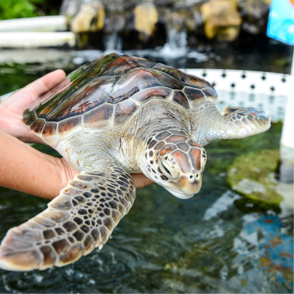 Sea Life Park in Oahu review featured by top Hawaii blog, Hawaii Travel with Kids: Turtle at Sea Life Park on Oahu