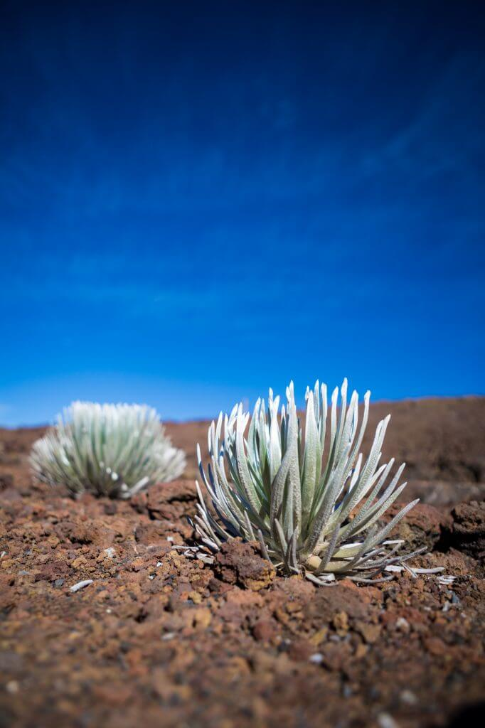 A Complete Travel Guide to Maui with Kids featured by top Hawaii travel blog, Hawaii Travel with Kids: Photo of hinahina (silversword) plants, on the slopes of Haleakala on Maui #maui #haleakala #hawaii