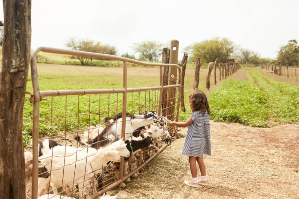 A Complete Travel Guide to Maui with Kids featured by top Hawaii travel blog, Hawaii Travel with Kids: Photo of a girl feeding goats at the Surfing Goat Dairy in Kula, Maui in Hawaii #maui #surfinggoat #surfinggoatdairy #kula #hawaii #goat #farm