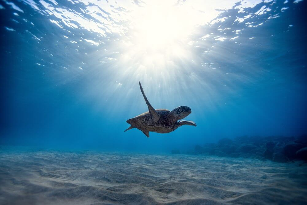 You'll see plenty of Hawaii Green Sea Turtles when scuba diving in Hawaii