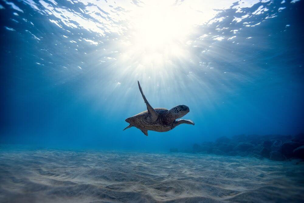 Look for Hawaiian Green Sea Turtles in Maui. Image of a Hawaiian Green Sea Turtle swimming in the water.