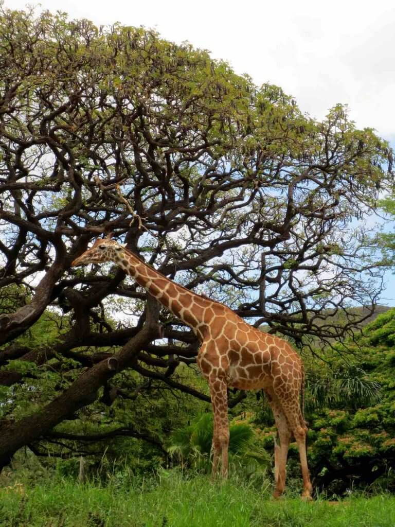 Visiting the giraffes at the Honolulu Zoo is just one of the many fun things to do on Oahu Hawaii with kids. Image of a giraffe with a tree.
