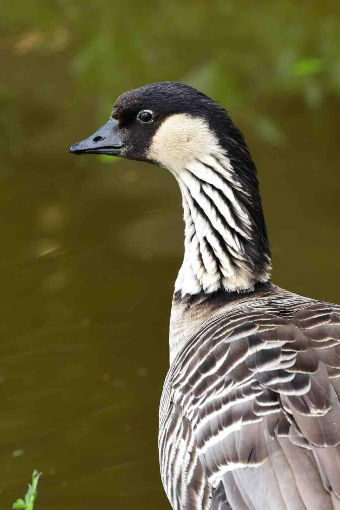 The Nene Goose is an endangered species in Hawaii and you can see them at Haleakala National Park on Maui. Image of Portrait of a Hawaiian goose (branta sandvicensis) standing by the water