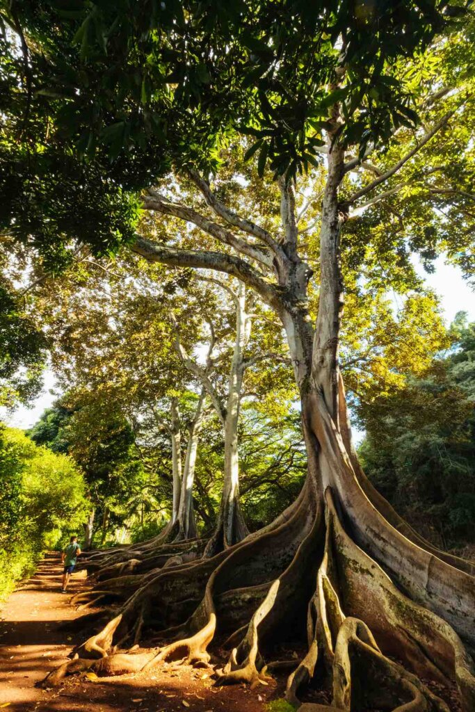 Exploring Allerton Garden is a fun thing to do on Kauai with toddlers. Image of a tree with huge roots on Kauai.