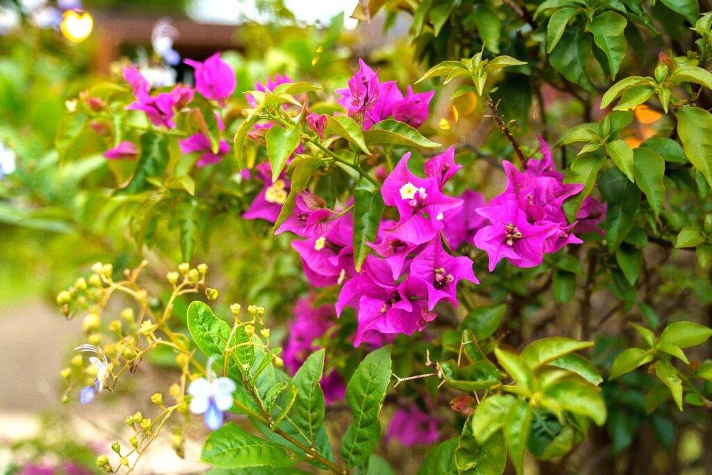 Image of purplebougainvillea flowers at Smith's Tropical Paradise Garden on Kauai.