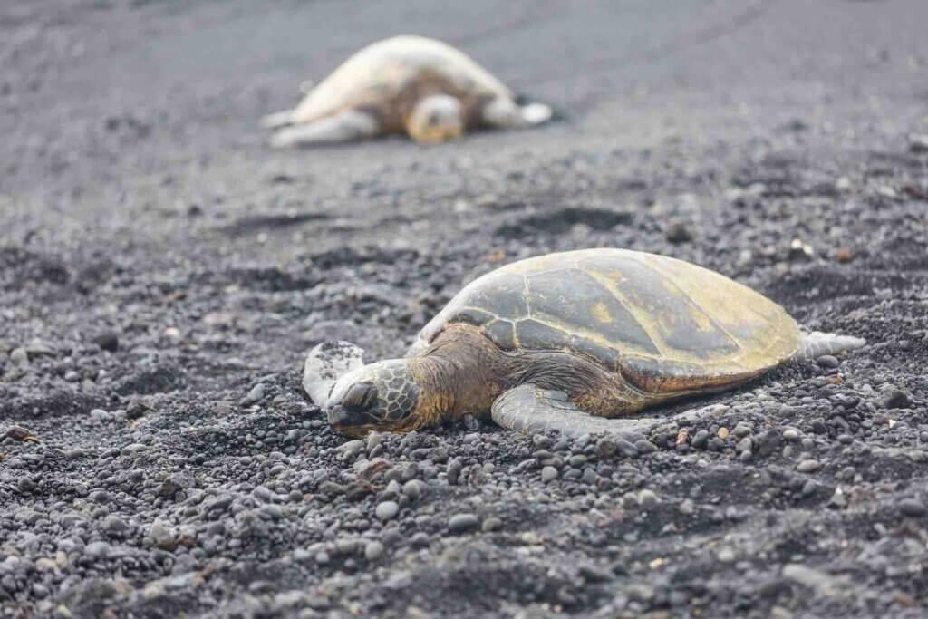 Visiting Punaluu Black Sand Beach is one of the best free things to do on the Big Island of Hawaii. Image of sleeping turtles on Punaluu Beach.