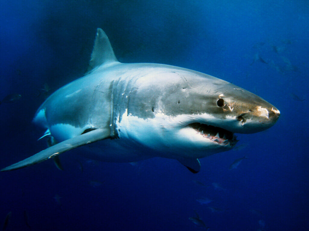 Find out where to snorkel with sharks on Oahu. Image of a great white shark.