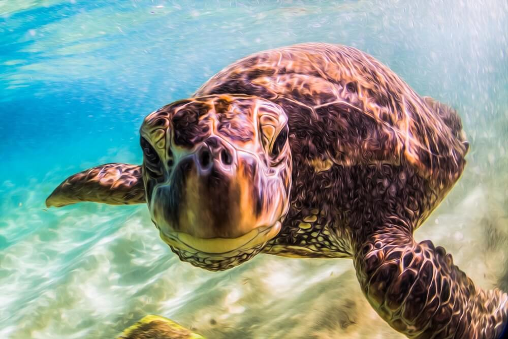 Find out cool Sea Turtle facts for kids and download instructions to make your own Sea Turtle Life Cycle Lapbook by top Hawaii blog Hawaii Travel with Kids. Image of a sea turtle swimming and looking at the camera