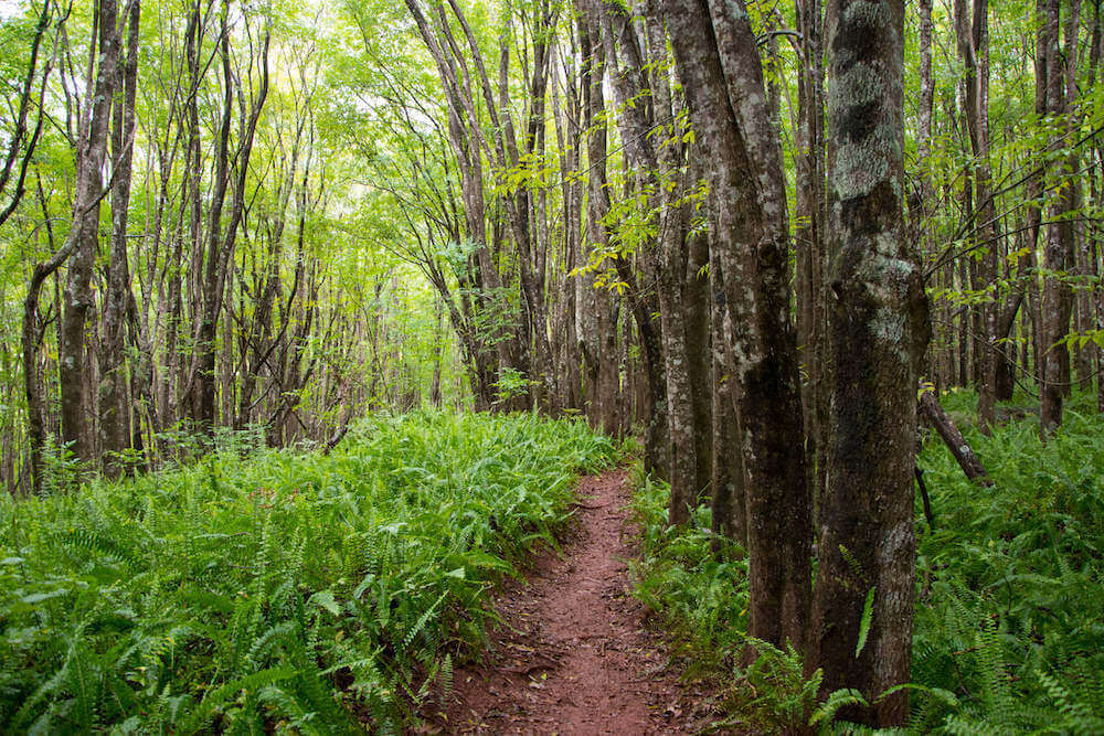 Looking for local secrets Maui has hidden away? Check out the Makawao Forest. Image of a dense forest with a dirt path.
