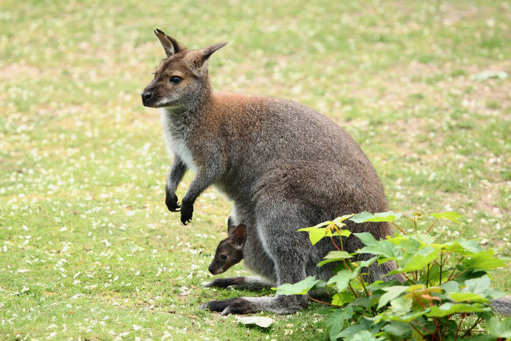 Did you know there are wallabies on Oahu? Image of a wallaby with a baby wallaby on a grassy field.