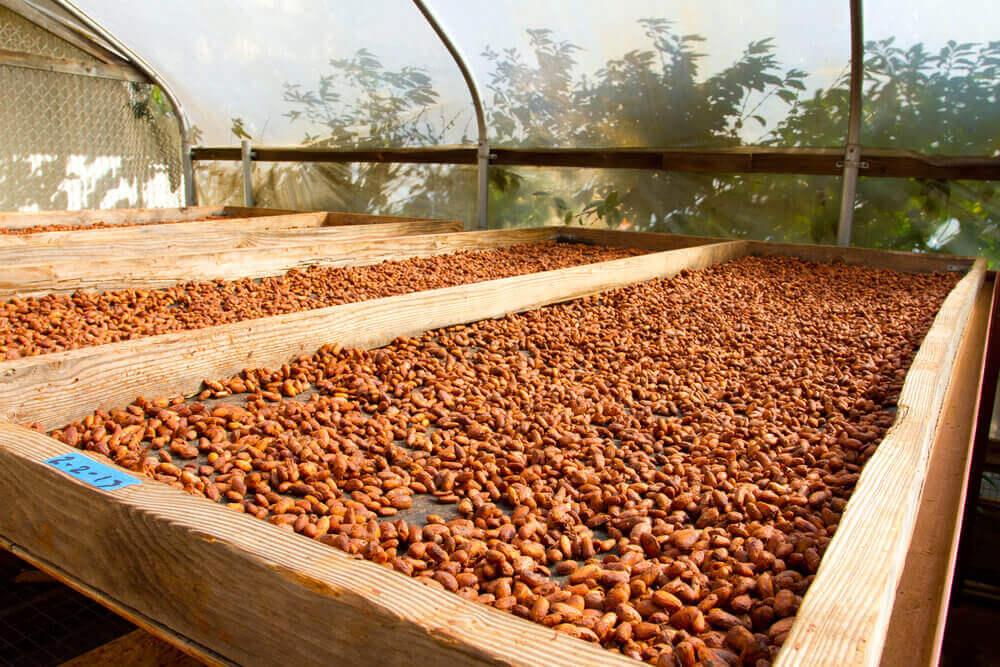 Image of cacao nibs roasting on a flat at a Hawaii chocolate farm.