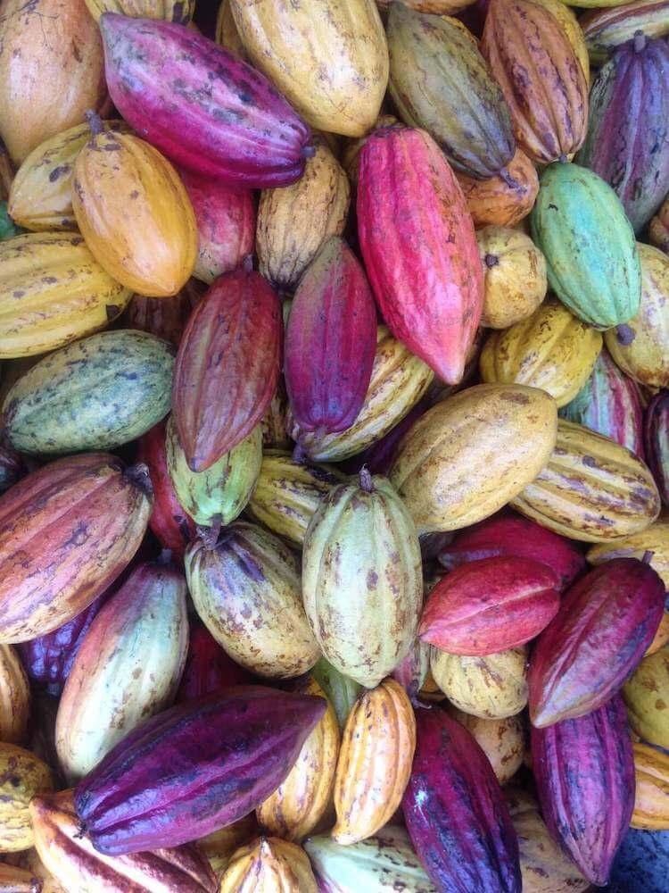 Image of colorful cacao pods at a Kauai chocolate farm.
