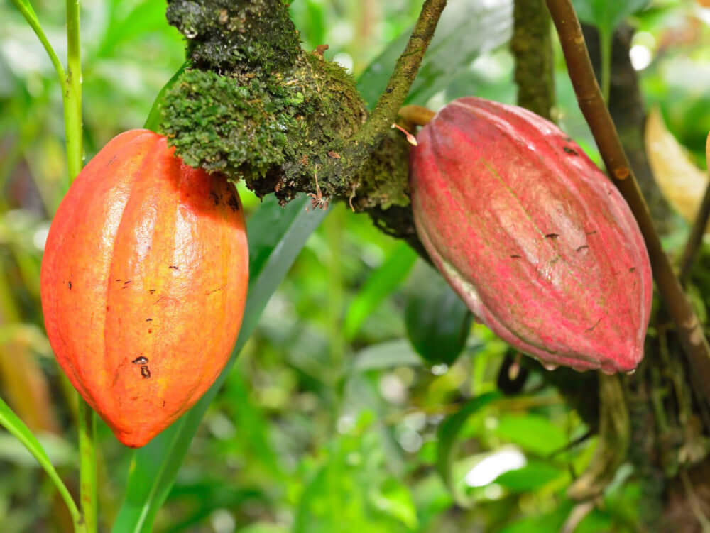 Find out the coolest Hawaii chocolate farm experiences recommended by top Hawaii blog Hawaii Travel with Kids. Image of a cacao tree on the Big Island of Hawaii.