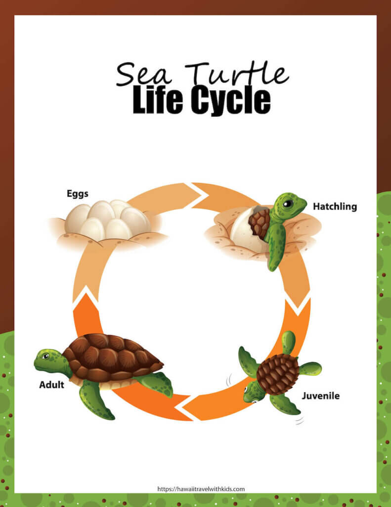 Learn all about the sea turtle life cycle with this sea turtle activty pack by top Hawaii blog Hawaii Travel with Kids. Image of a worksheet featuring the sea turtle life cycle.