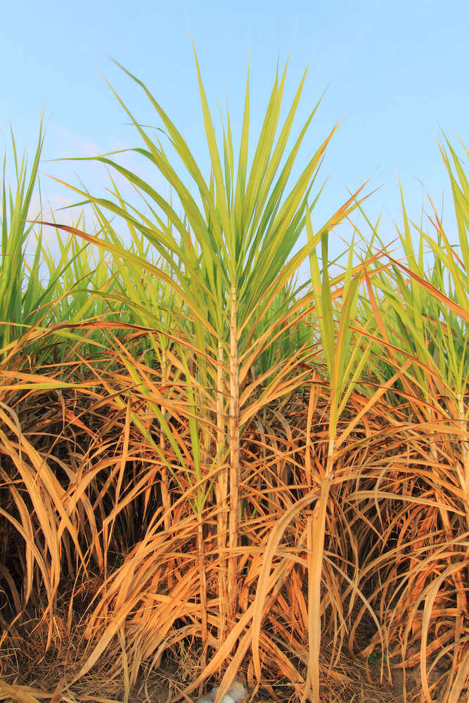 There used to be tons of sugar cane plantations in Hawaii. Image of sugar cane.