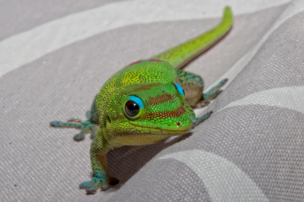 Find out all about geckos of Hawaii by top Hawaii blog Hawaii Travel with Kids. Image of a green gecko climbing on grey fabric.