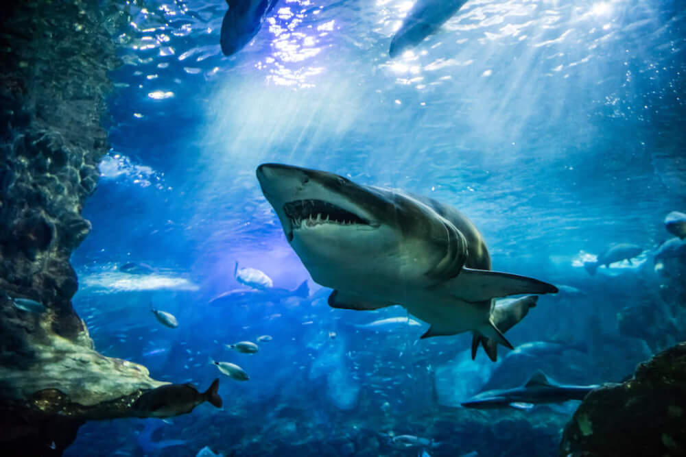 Find out the most dangerous animals in Hawaii by top Hawaii blog Hawaii Travel with Kids. Image of a tiger shark swimming in the water.