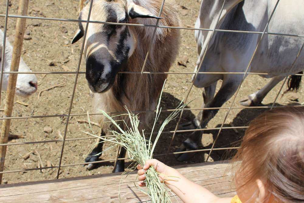 Find out the best pumpkin patches on Oahu recommended by top Hawaii blog Hawaii Travel with Kids. Image of a girl feeding a goat at an Oahu pumpkin patch.