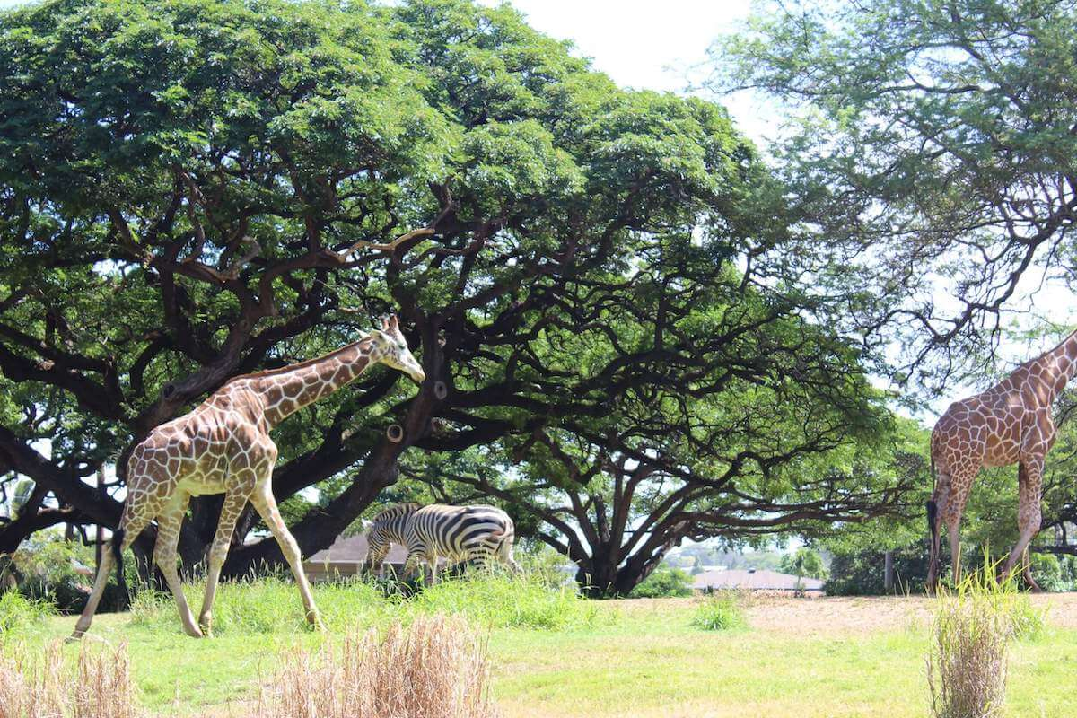 Check out this ultimate guide to the Honolulu Zoo by top Hawaii blog Hawaii Travel with Kids! Image of giraffes and zebras at the Honolulu Zoo in Waikiki.