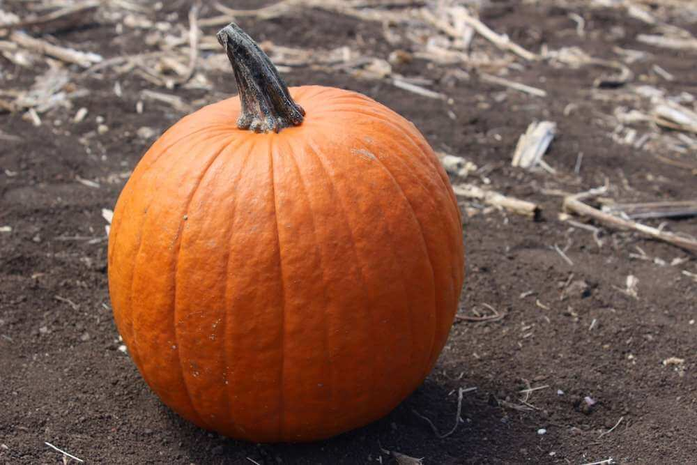Find out the best pumpkin patches on Oahu recommended by top Hawaii blog Hawaii Travel with Kids. Image of a pumpkin at an Oahu pumpkin patch.