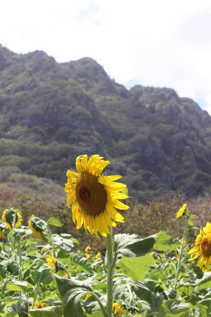 Find out the best pumpkin patches on Oahu recommended by top Hawaii blog Hawaii Travel with Kids. Image of a sunflower field at an Oahu pumpkin patch.
